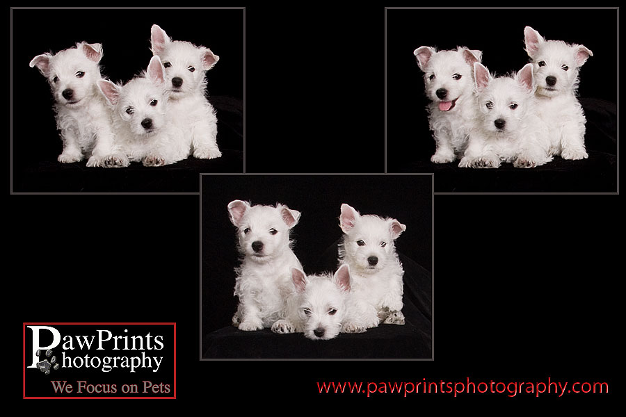 group of 3 westie puppies
