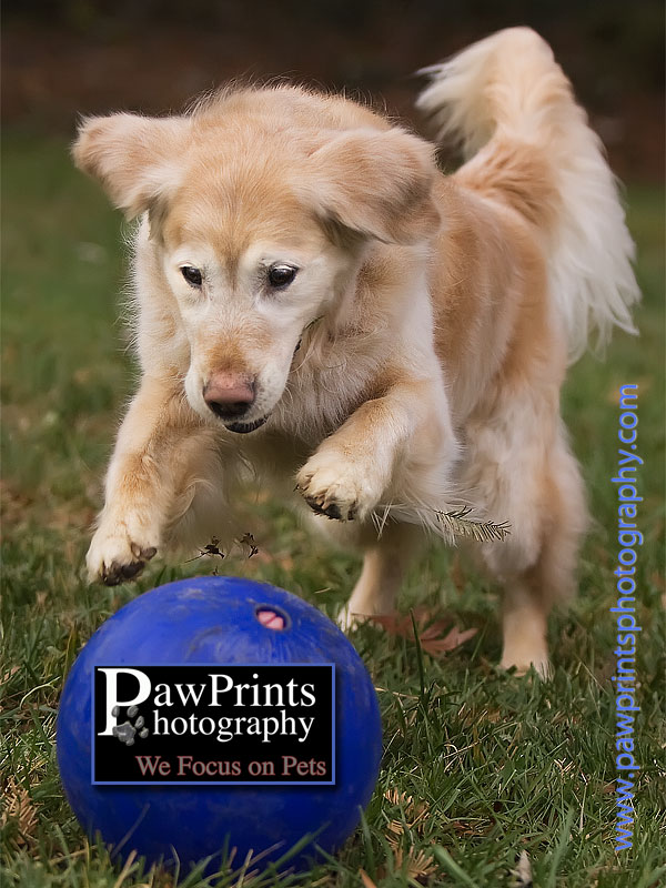Golden Retriever with blue ball