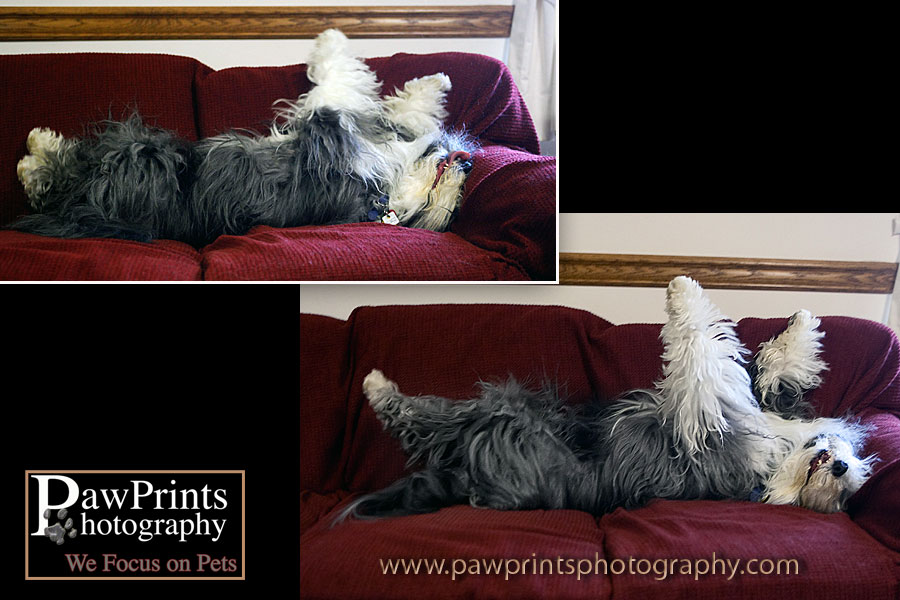 Bearded collie rolling on the couch