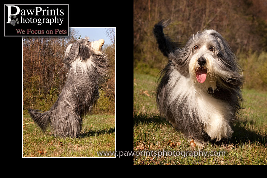 Bearded collie running more