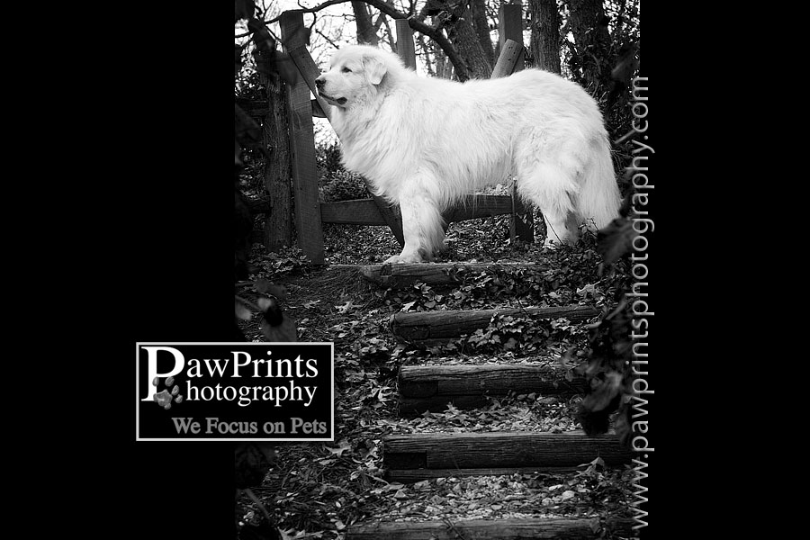 great pyrenees black and white