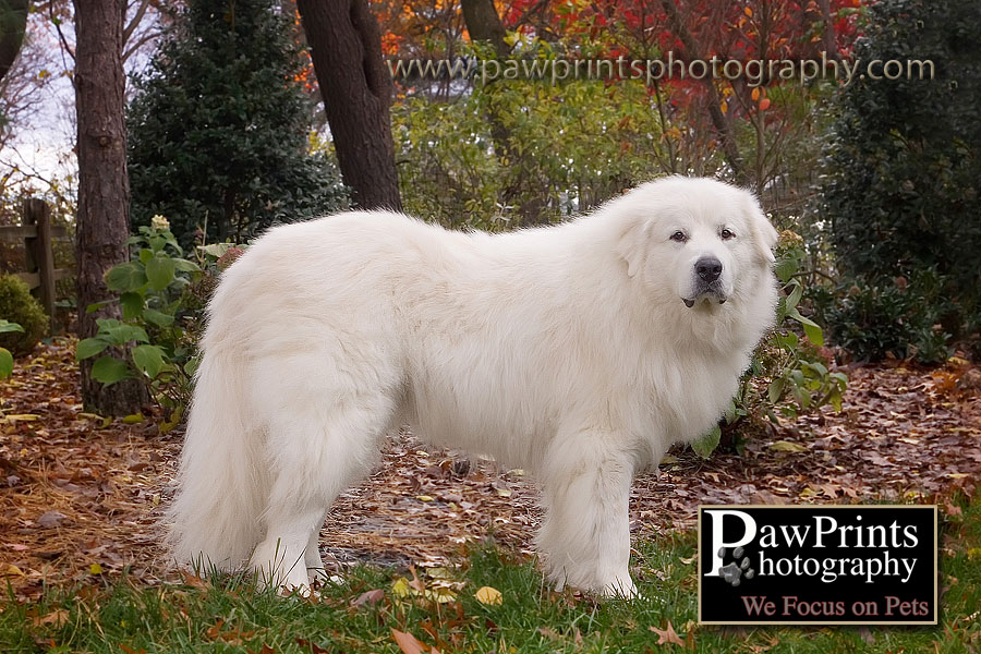 great pyrenees full body