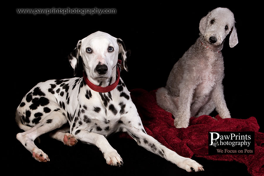 Bedlington Terrier and Dalmatian