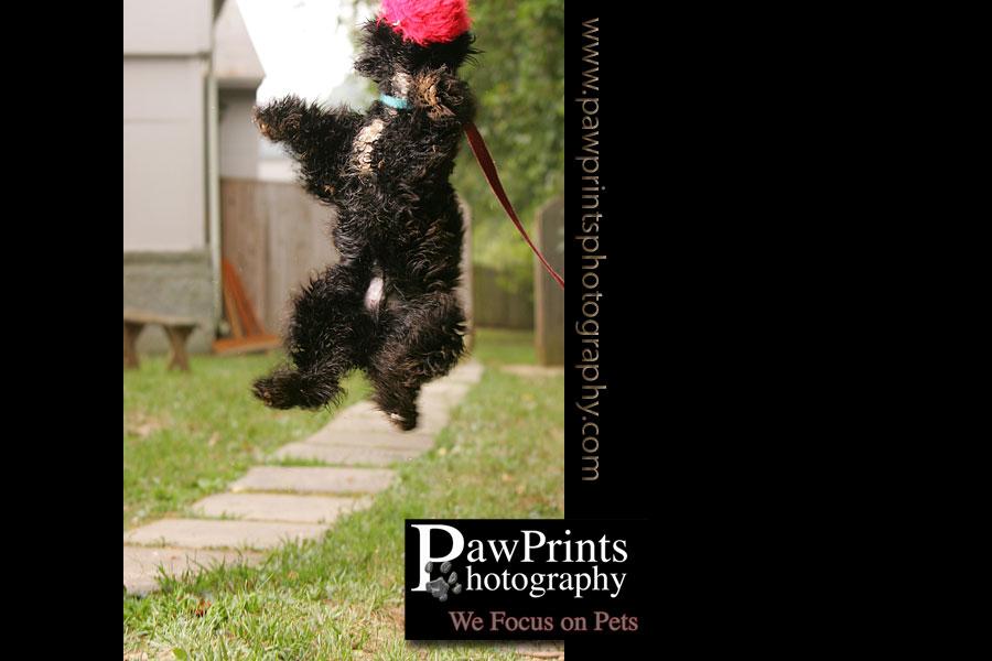 Black Cocker Spaniel jumping