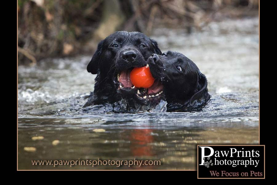 Two black labs swimming with a red ball