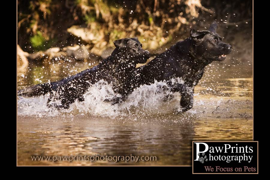 Two black labs running in the water
