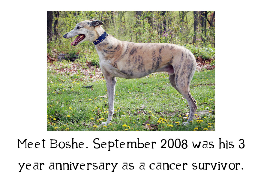 Greyhound named Bosha