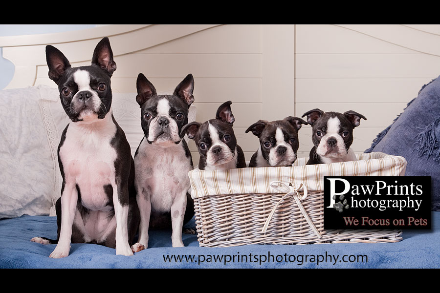 boston terrier family in basket