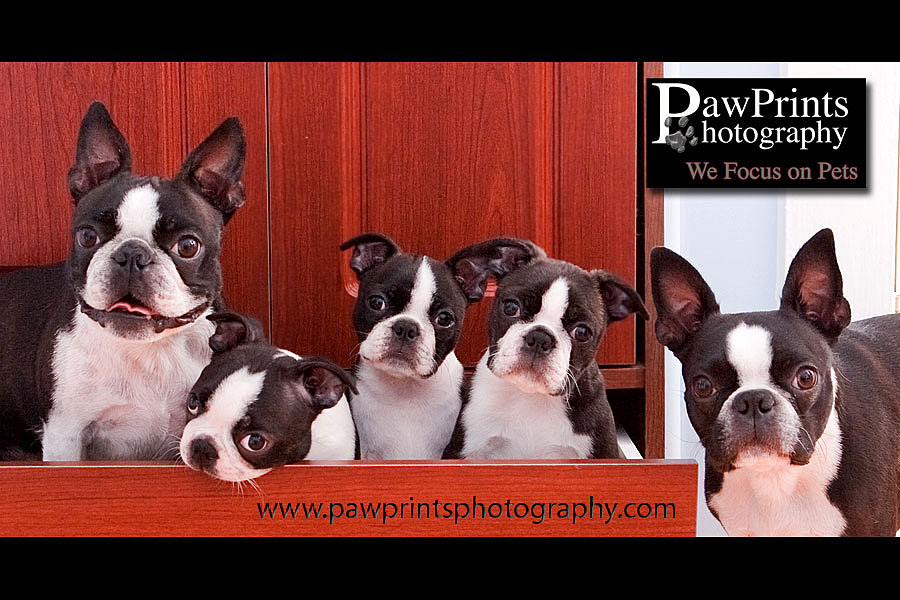 Boston Terriers in drawer
