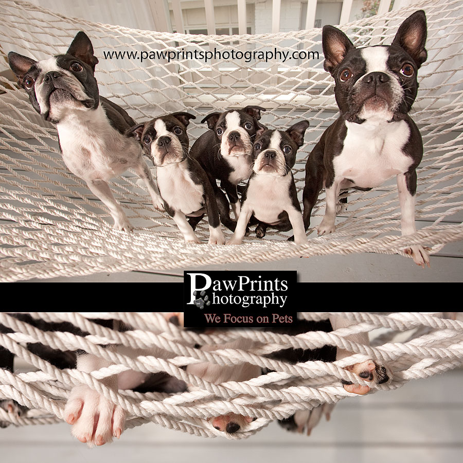 Boston Terriers in hammock