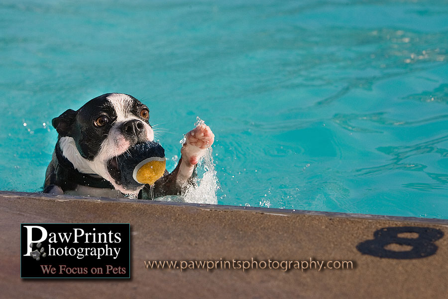 boston terrier in swimming pool