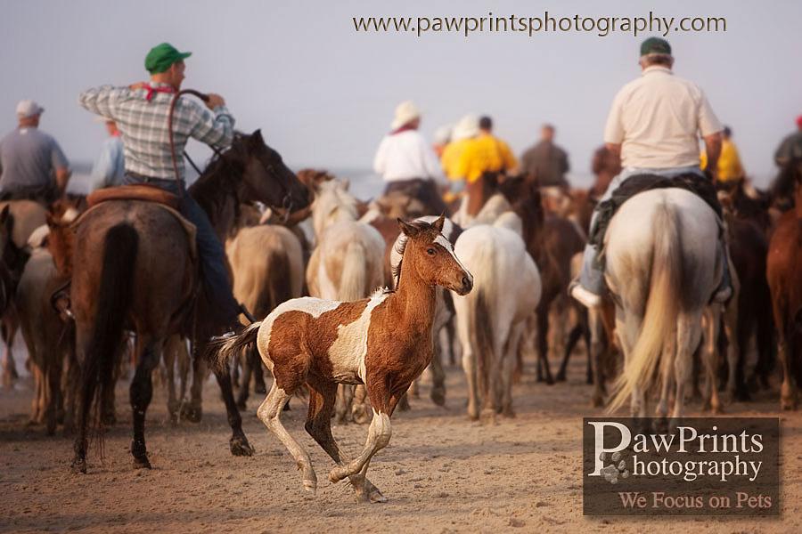foal breaking away from herd