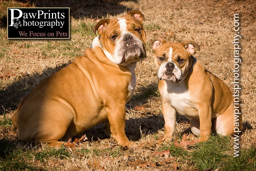 adult bulldog with puppy bulldog