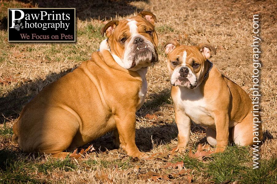 adult bulldog with puppy bulldog