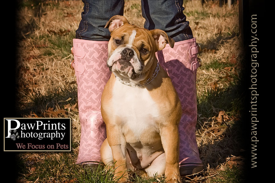 bulldog with pink boots