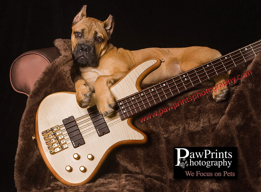 Cane Corso puppy with guitar