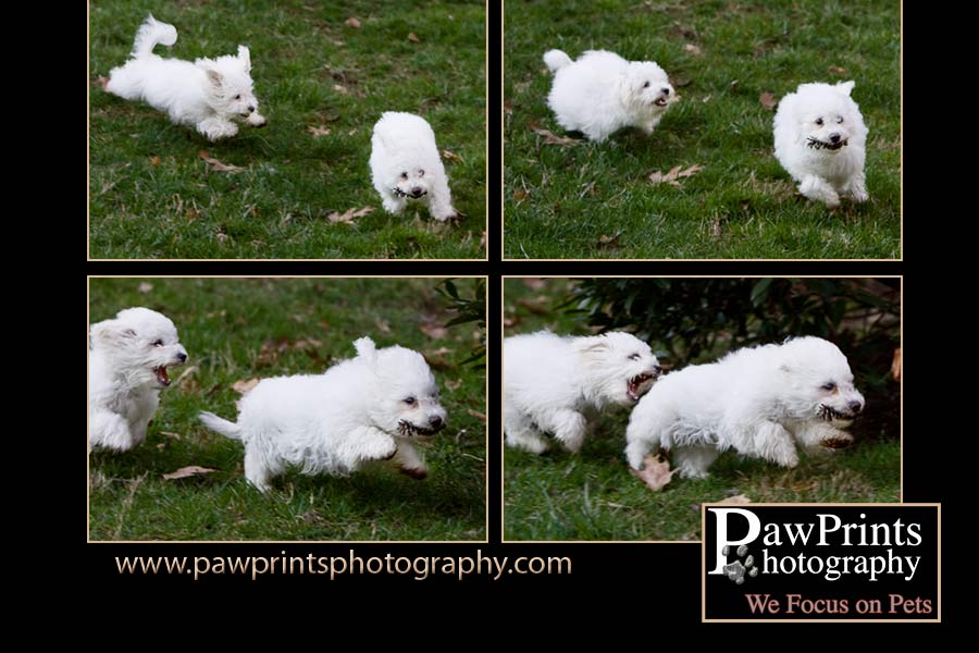 Two Bichon puppies chasing a pinecone