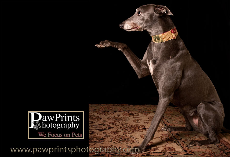 greyhound raising paw