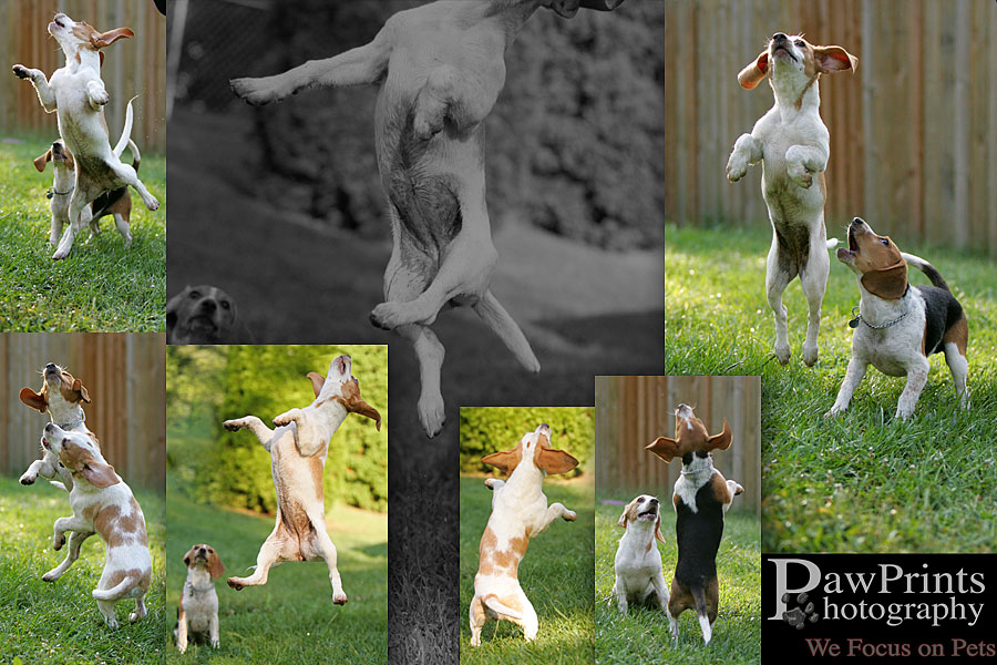 Beagle puppies jumping
