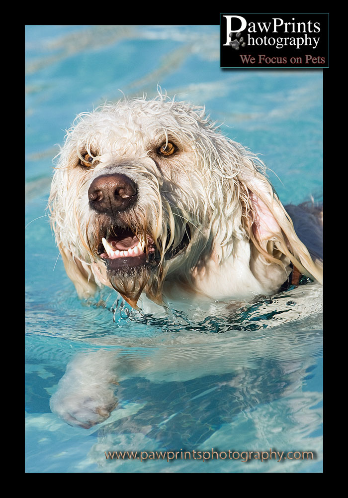 Golden Doodle Swimming