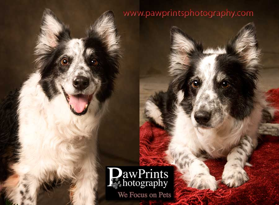 Duffy - Border Collie