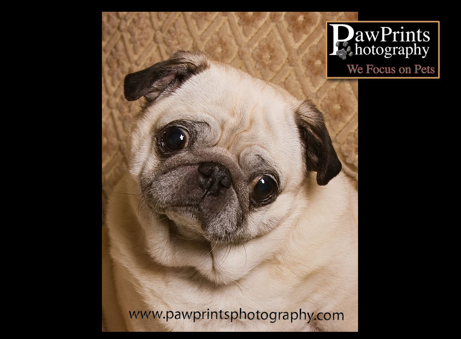 Ernie - the pug - just a headshot