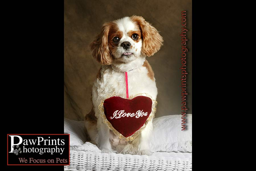 Cavalier King Charles Spaniel with heart