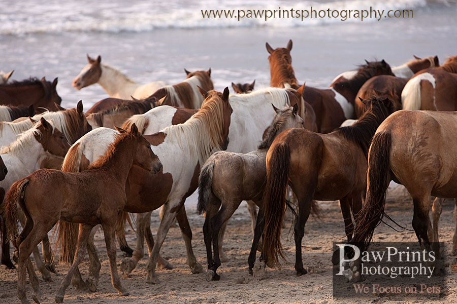 Chincoteague herd