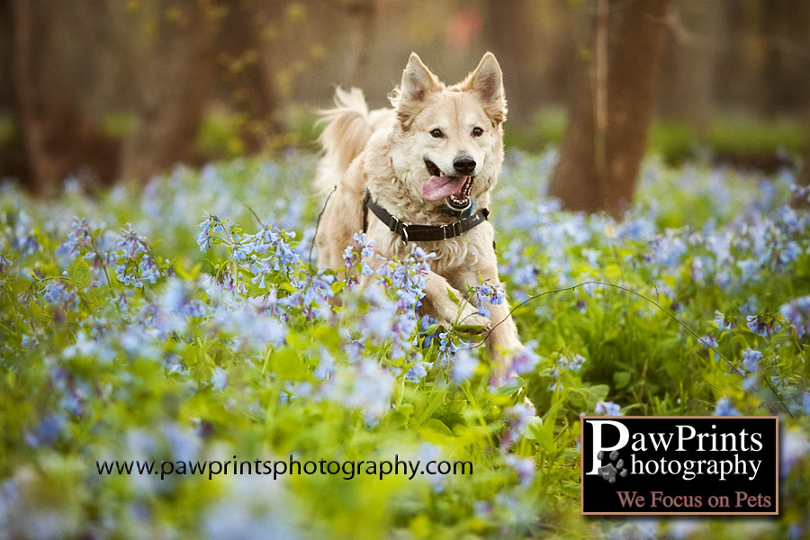 Juno Running in the Bluebells