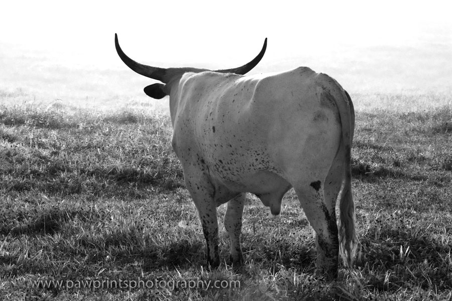 longhorn looking back