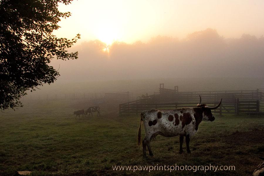 longhorns at sunrise