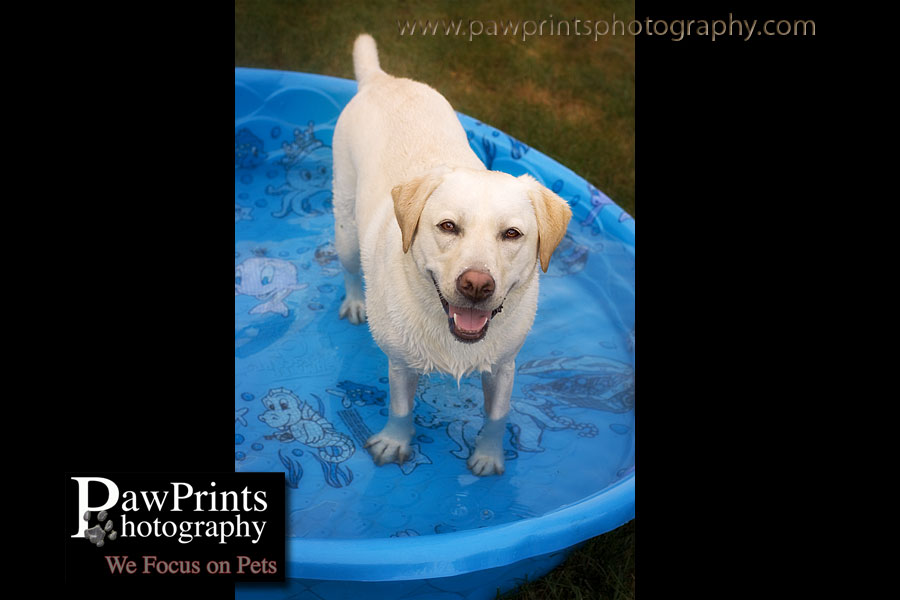 yellow lab in pool