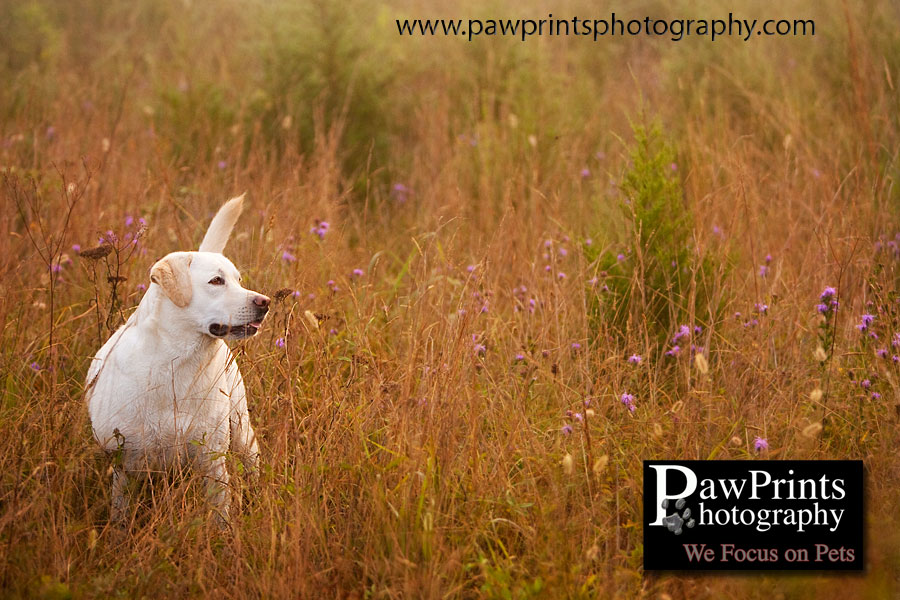 yellow lab in field