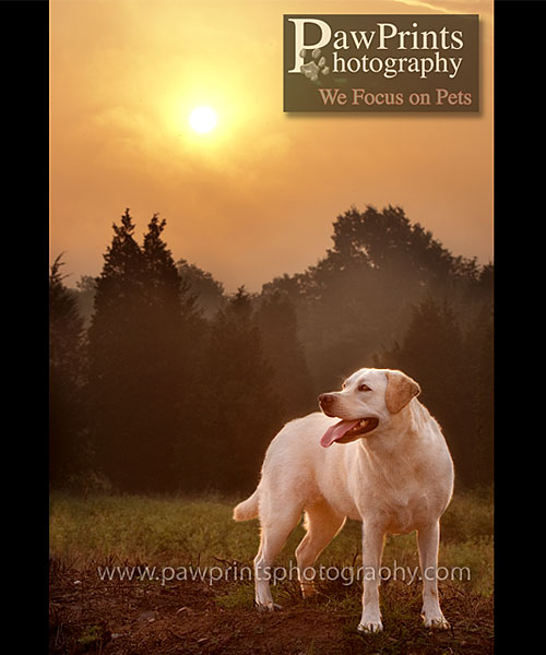 yellow lab with rising sun