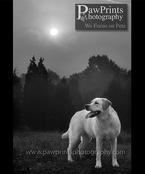 yellow lab and sun in black and white