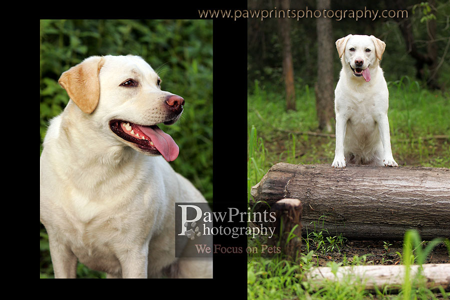 yellow lab on tree