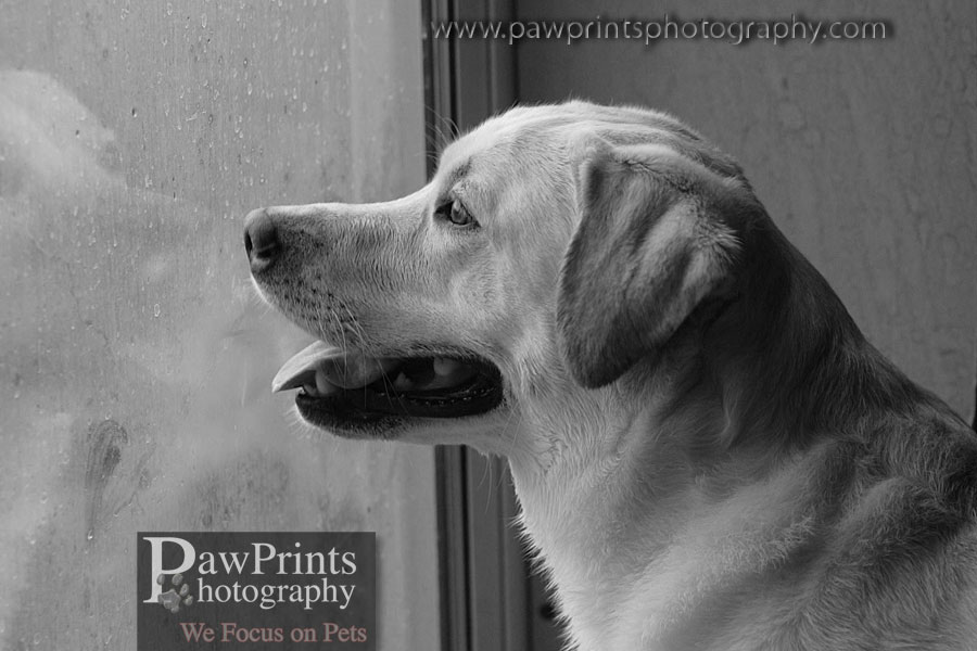 yellow lab waiting at window