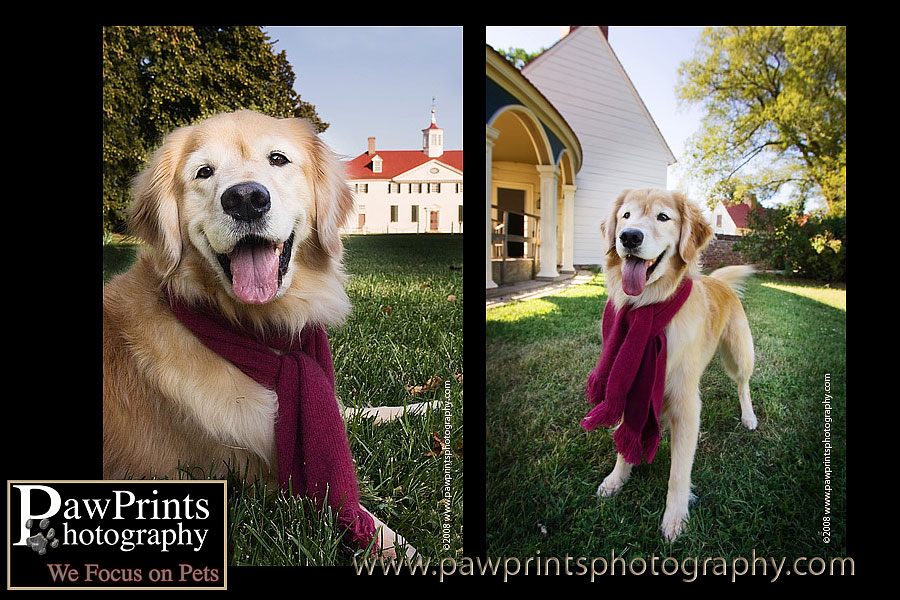 Golden Retriever at Mt. Vernon
