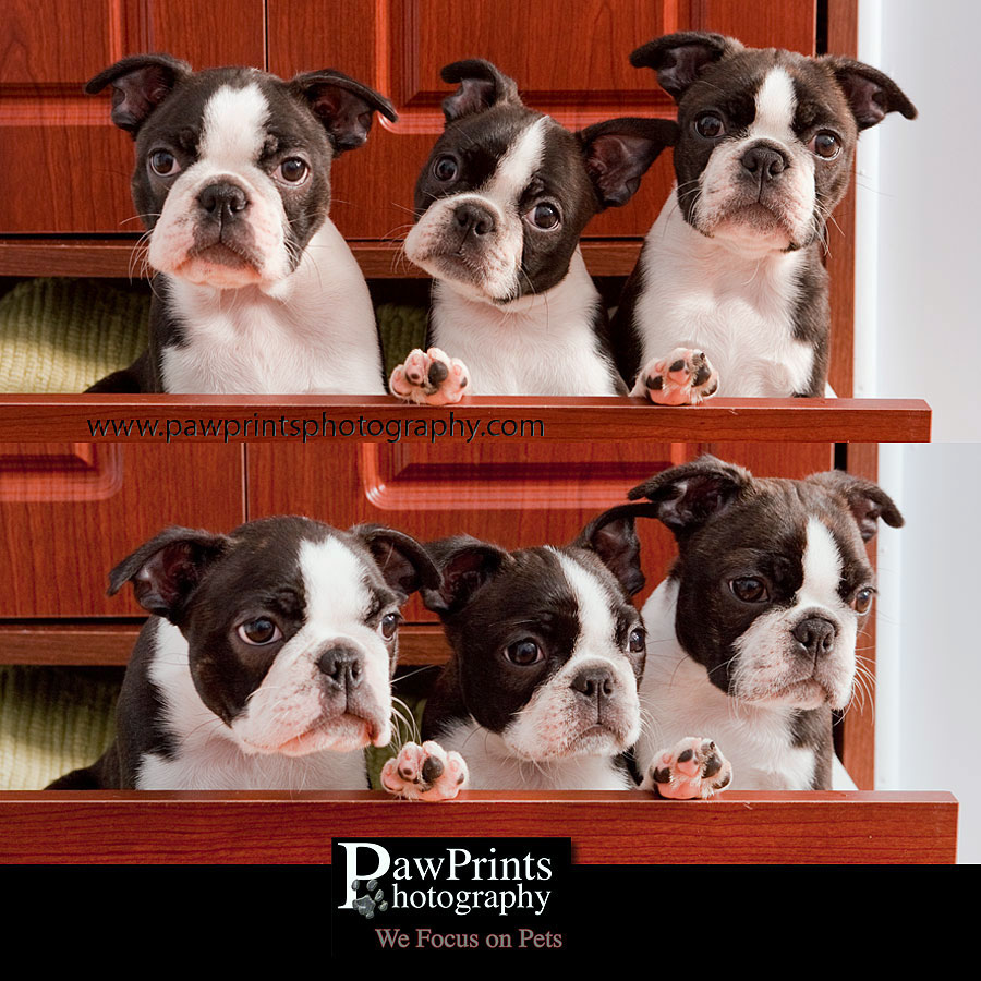 boston terrier puppies in drawer