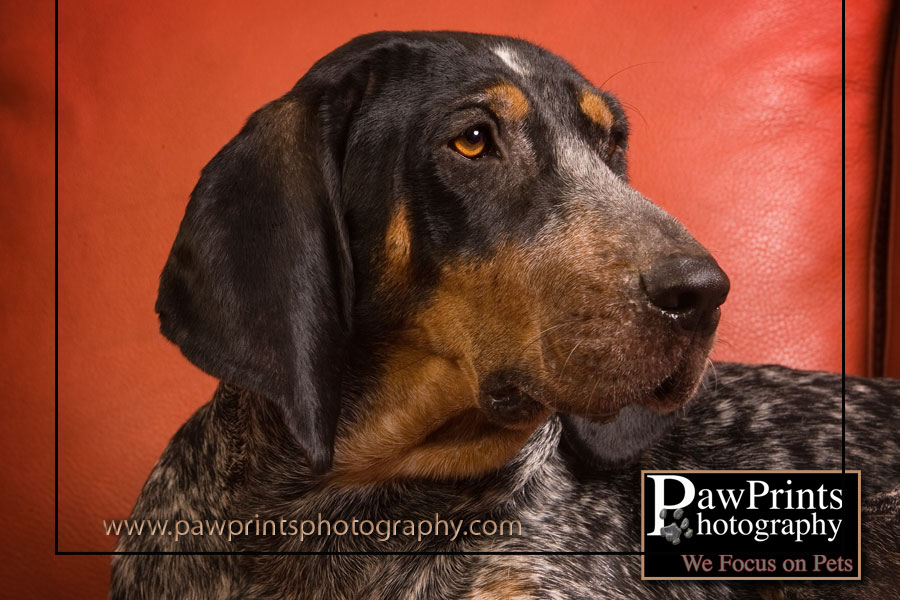 face of Quinn the coon hound