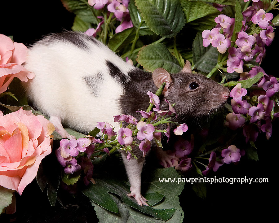 rat in flowers