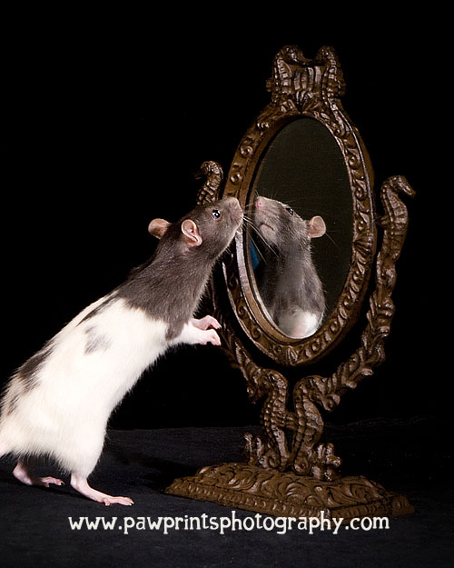 rat looking in a mirror