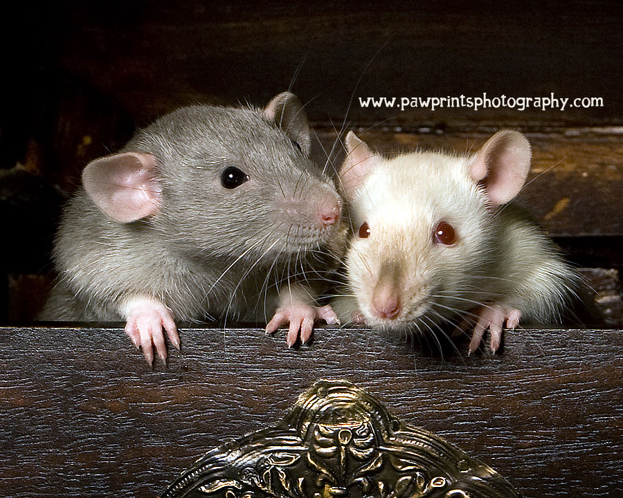 rats whispering