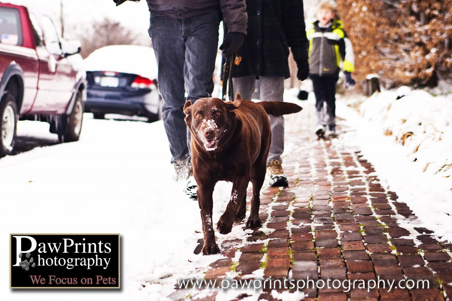 Chocolate Lab with family