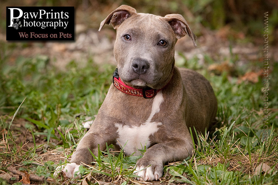 Pit Bull laying down