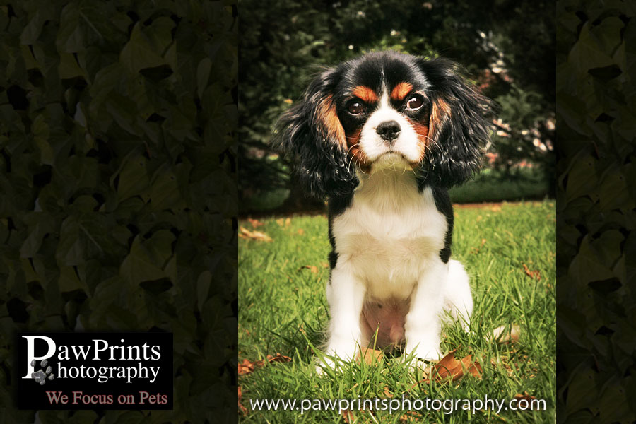 cavalier King Charles Spaniel sitting in grass