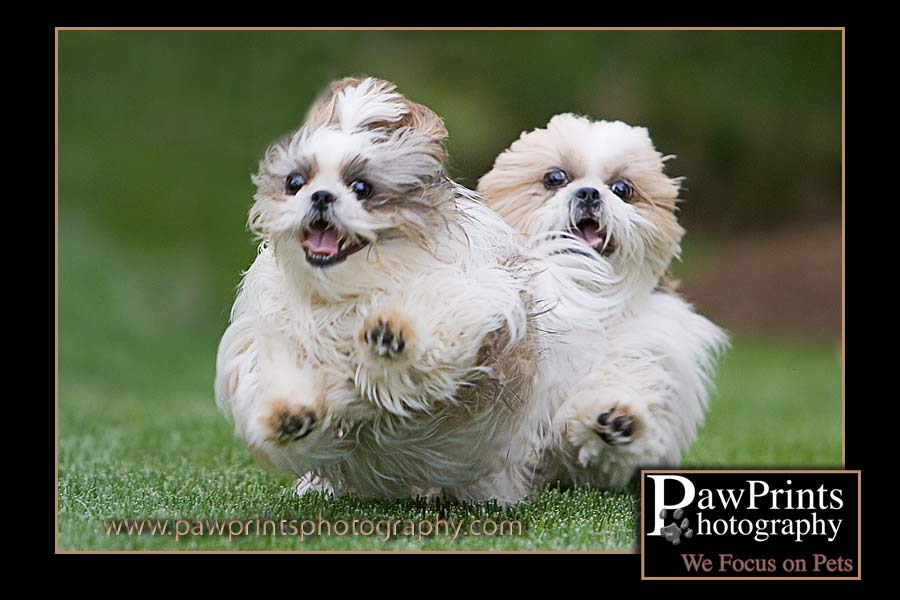 Two Shih Tsu's running
