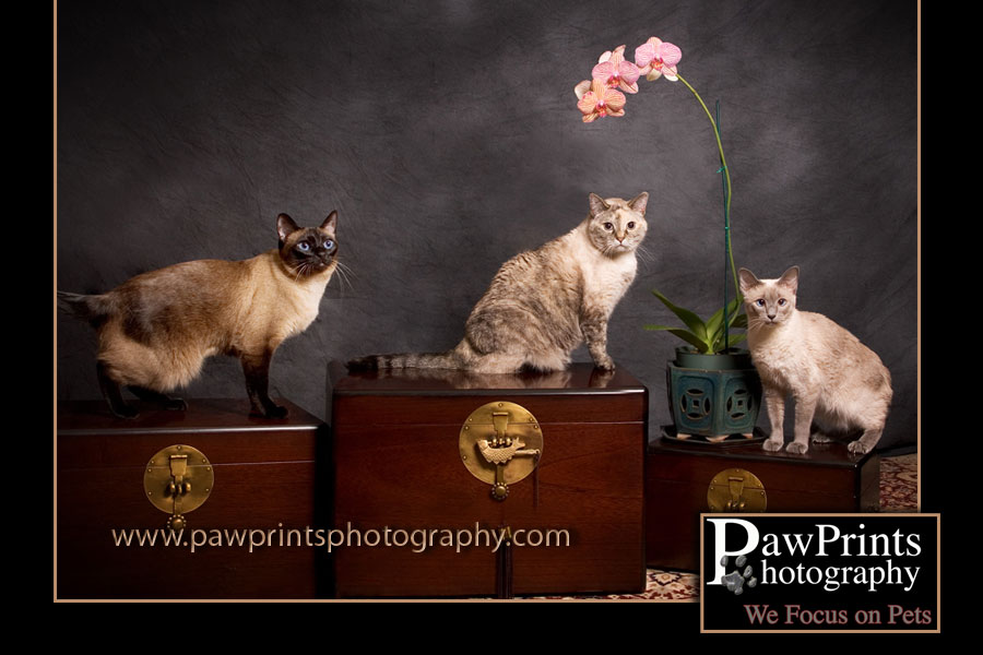 Group of cats - 2 siamese and one bengal mix
