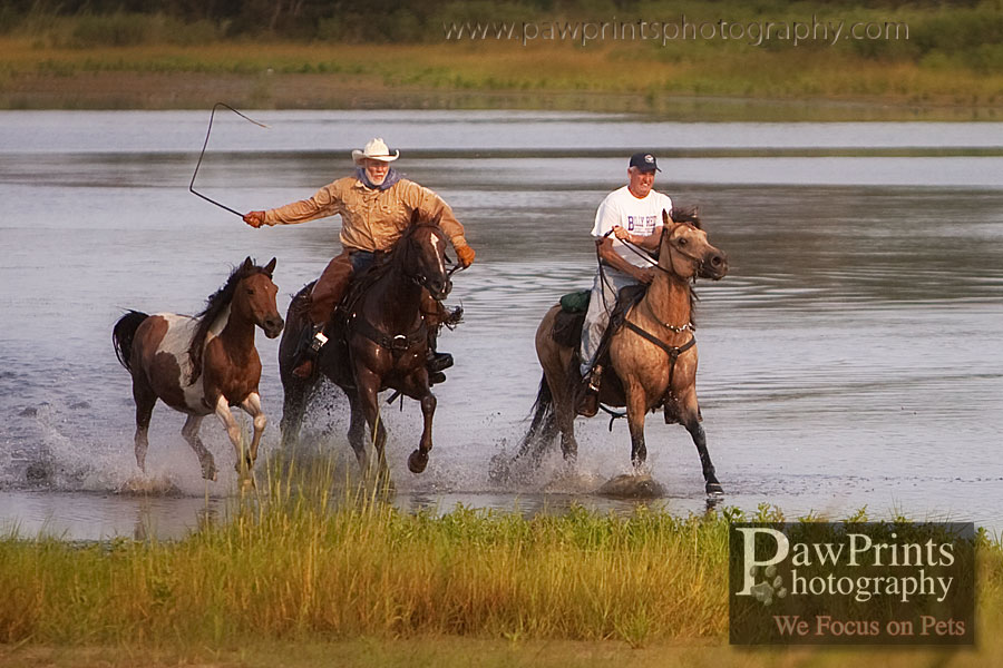 Horse roundup in swamp