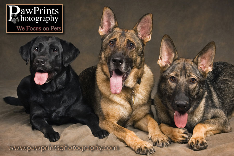 Two German Shepherds and a Lab